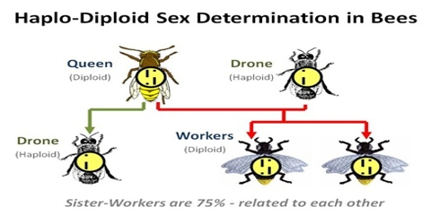 Haploid and Diploid Parthenogenesis: Definition