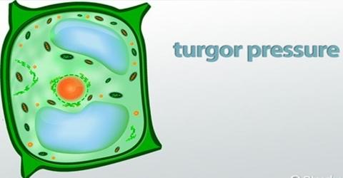 Turgor Pressure and Wall Pressure in Plants