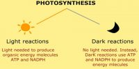 Different Phases of Photosynthesis