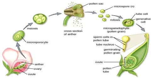 Formation of Male Gametes from Pollen Spore
