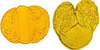 Development of Pollen Grain