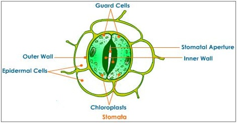 Epidermal Stoma in Plant Leaf