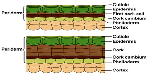 Formation of Periderm in Plants