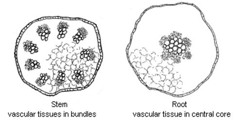 Comparison between the Stem Structure and Root Structure