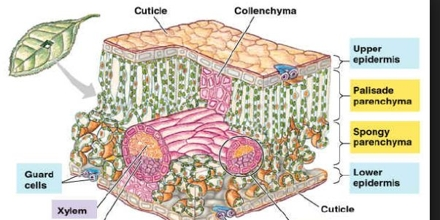 Epidermis Formation and Function in Plants