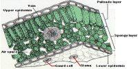 Upper Epidermis in Plants
