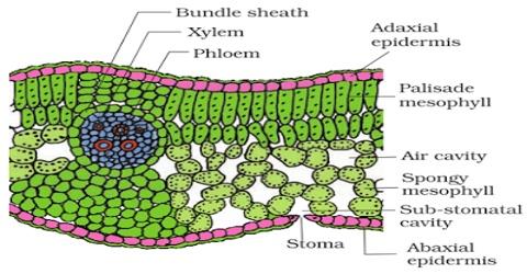 Internal Structure of Dorsivental Leaf (mango leaf)