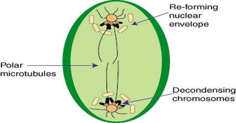 Pro-metaphase Stage in Meiosis in Plants