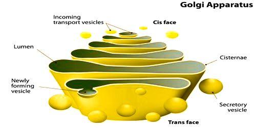 Golgi Bodies or Golgi Apparatus: Structure and Function