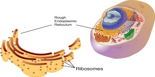 Ribosome Definition with Structure and Function
