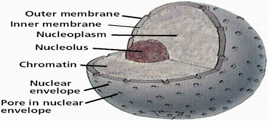 Nucleolus: Chemical Composition and Function