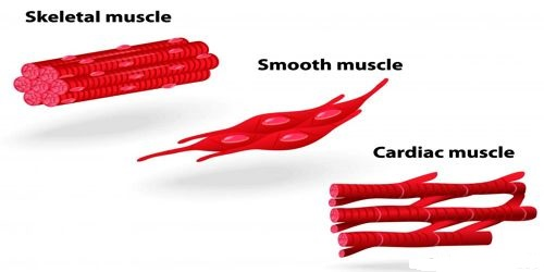 Voluntary or Striated Muscle