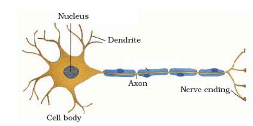 Nerve Tissue of Animal