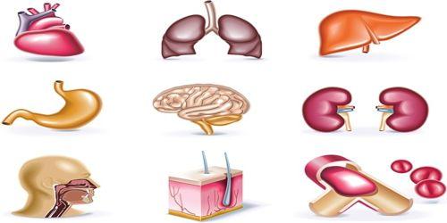 Organs in Human Body