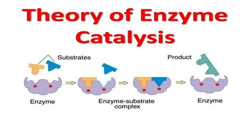 Enzyme Catalysis