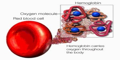 How can a Molecule of Hemoglobin (Hb) carry four molecules of Oxygen?