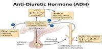 Function of action of Antidiuretic hormone (ADH)