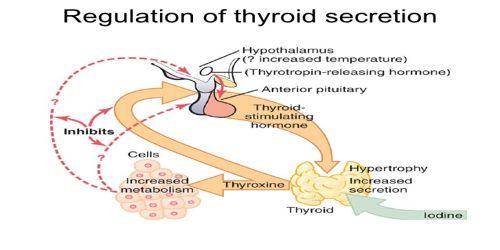Regulation of Thyroid Hormone Secretion (THS)