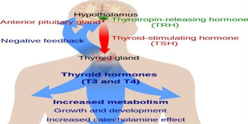 Function of Thyroid Hormone