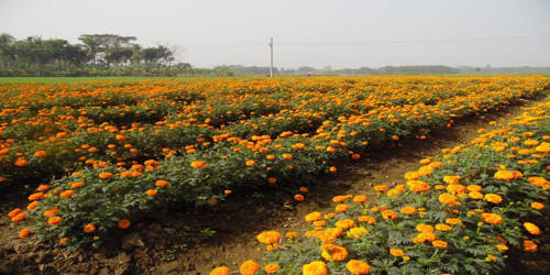 Flower Cultivation and its Bright Prospect
