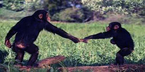 Male Bonding is Key to Chimpanzee Mating Success, Study Finds