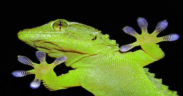 Gecko-like Pads For Wall Climbing Could Be Mass Produced
