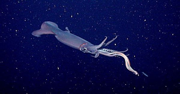 "In Australian waters rare ""Bigfin squid"" found for the first time"