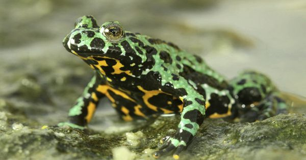 Research step forward in Fight against deadly Chytrid Fungus