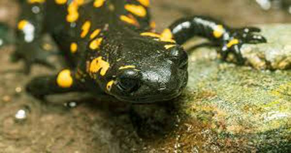 Researchers are working to prevent skin-eating fungus from decimating salamander populations