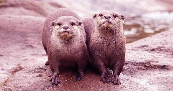 While Solving Puzzles Otters Learn From Their Friends