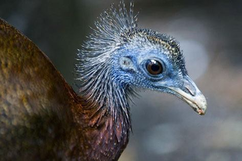 Before human-powered extinction, flightless birds were more common – a new study