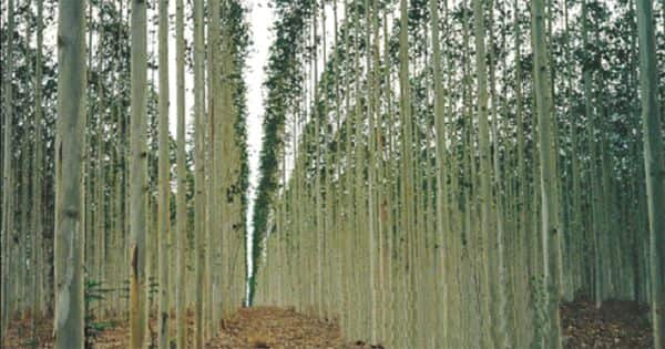 Genetically modify trees can fight the growing threat of global climate change