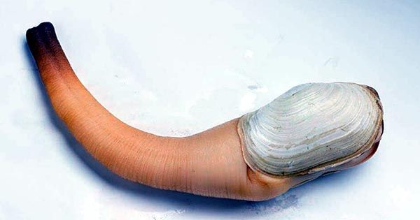 What is Geoduck? The giant old clam of the ocean
