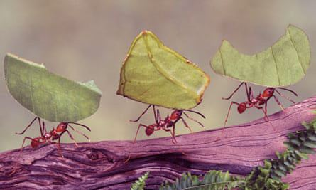 Leaf-cutting ants invented the first insects for Biominerial body armor