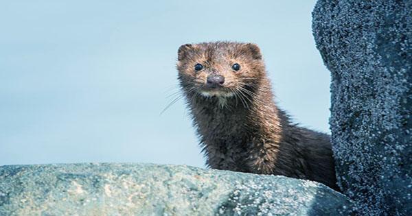 Mink fugitives in Denmark can spread the coronavirus to other wildlife