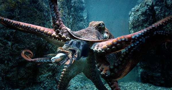 """Australian Man Slapped By """"Angry"""" Octopus"""