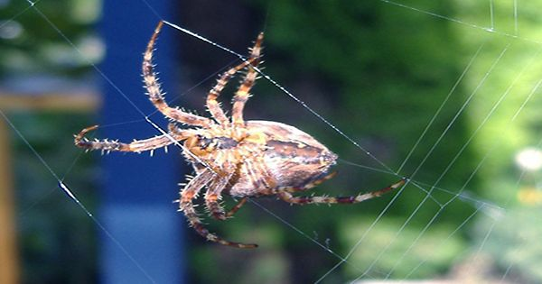 Studies challenge spiders in space to create a web in Zero Gravity