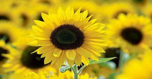 """The Liquid Crystal """"Sunflowers"""" Are Capable Of Some Truly Bizarre Stuff"""
