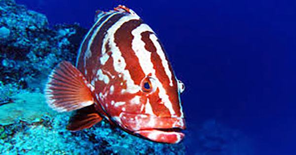 The impressive 81-year-old has won the title of the world's oldest tropical reef fish