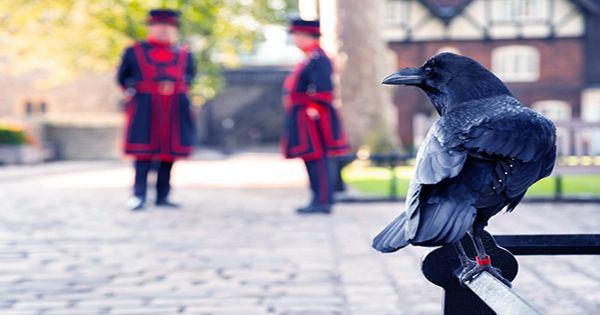 A Raven Has Left The Tower Of London And Is Feared Dead, Will The Kingdom Now Suffer As Legend Goes?
