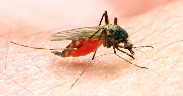 Bacterial species naturally infecting mosquitoes may protect them against pesticides
