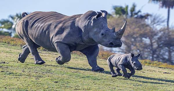 Embryos from World's Last Two Northern White Rhinos Ready for Implantation into Surrogates