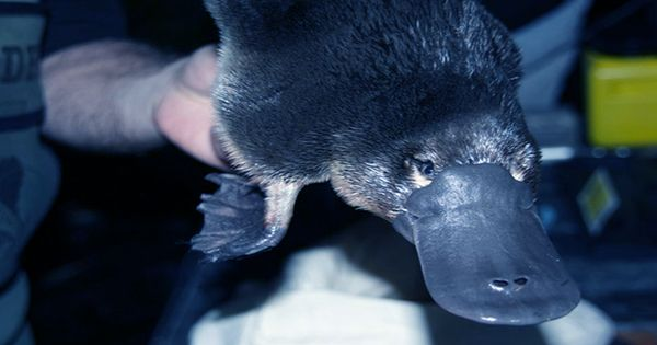 Genomic Analyses Reveal Why the Platypus Lays Eggs and Sweats Milk