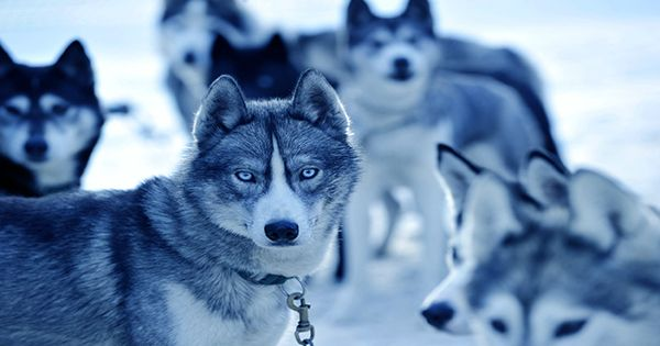 Sharing Leftover Meat with Wolves May Be Why Dogs Are Our Best Friends Today