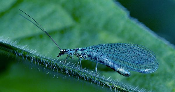 Beaded Lacewings Can Take Down Six Termites with a Single Fart