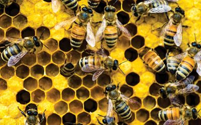 Biodiversity-within-Bee-communities-can-help-dilute-the-harmful-Disease-1