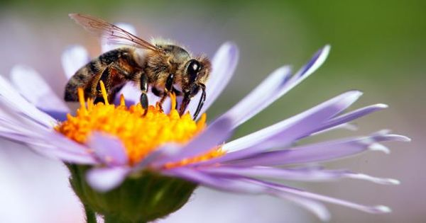 Biodiversity within Bee communities can help dilute the harmful Disease