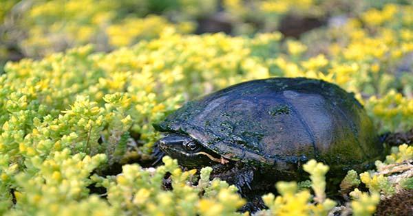 Check-Out-Turnip-The-Radiated-Tortoises-Booty-Shaking-Rain-Dance-1