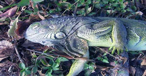 "Forecast Predicts ""Iguana Fall"" For Miami"
