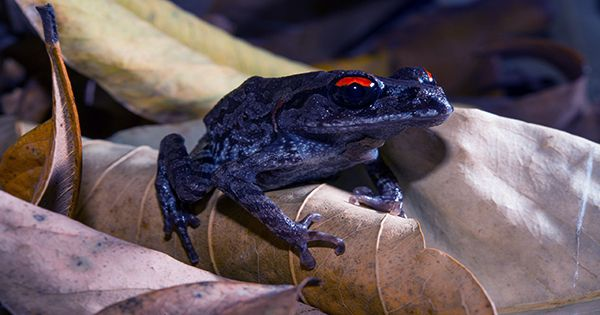Stop-Milking-Toads-to-Get-High-Say-Conservationists-1